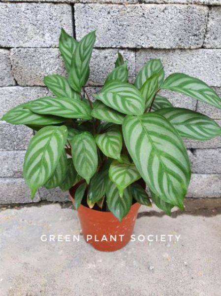 GPS X 90s Greenovation - Live Calathea - Majestica Exotica 新飞羽竹芋