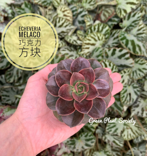 GPS X 90s Greenovation - Live Succulent - Echeveria Melaco 巧克力方块