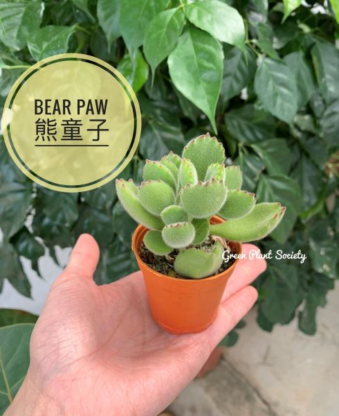 GPS X 90s Greenovation - Live Succulent - Cotyledon Tomentosa (Bear Paw) 熊掌
