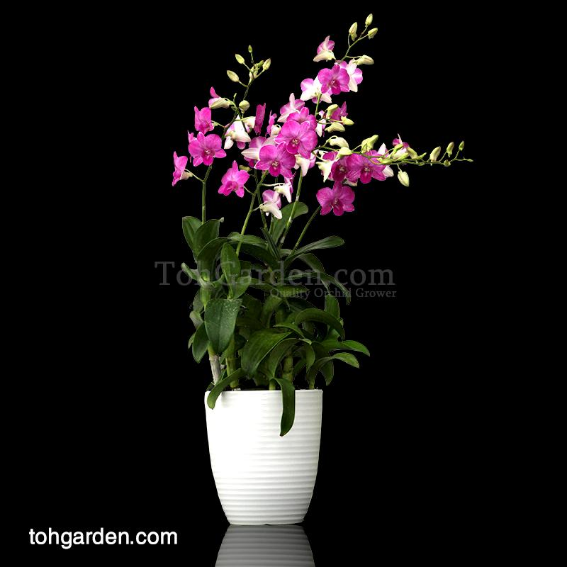 Dendrobium Glory  in Ceramic Pot (5 in 1)