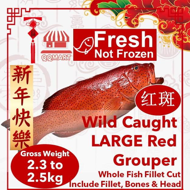 Fresh Wild Caught Whole Large Red Grouper 2.3 To 2.5kg (fillet Cut) By Qqmart.