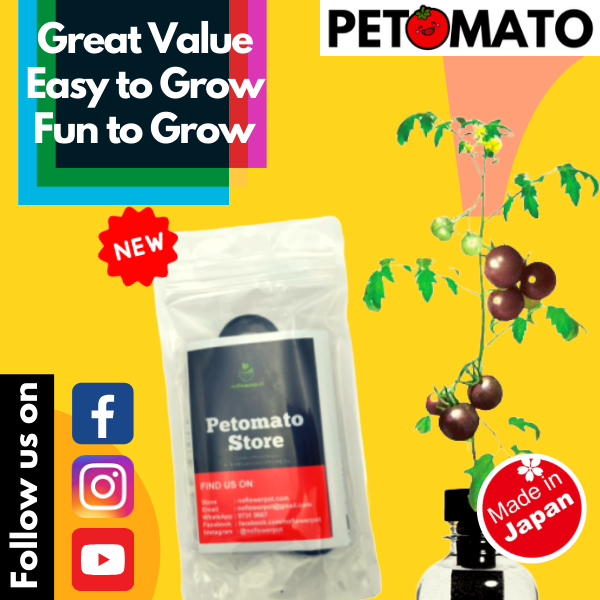 【Free Shipping + Super Deal + Special Offer】Petomato - Black Tomato - Made in Japan Hydroponic Soiless Plant Kit System Fun Education Science Starter Grow Kit for Indoor Outdoor Garden (comes with free seed and plant food nutrient)