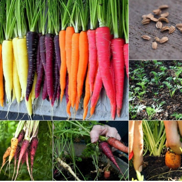 CARROT MIX COLOR SEEDS