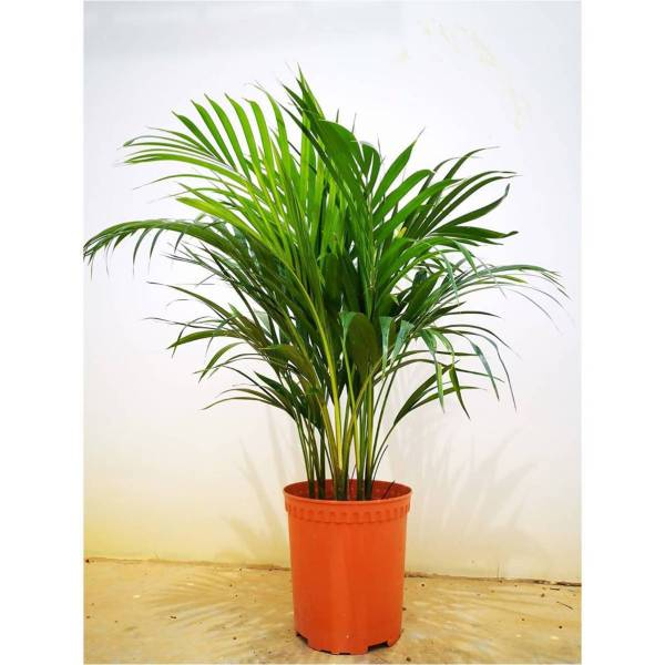 Dypsis lutescens / Yellow Palm in Pot (no tray) (0.8m) - Air Cleaning / Purifying Plant (NASA Research)