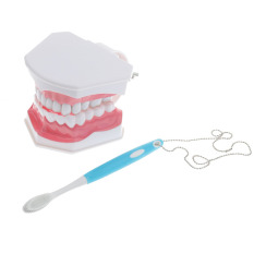 Buy Bolehdeals Dental Teaching Study *d*lt Standard Typodont Demonstration Teeth Model Online