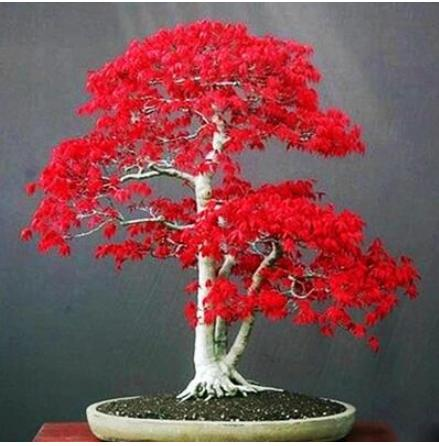 100% True U.S.A Red Maple Tree America bonsai 30pcs seedsplants Very Beautiful Indoor Tree home garden decortion