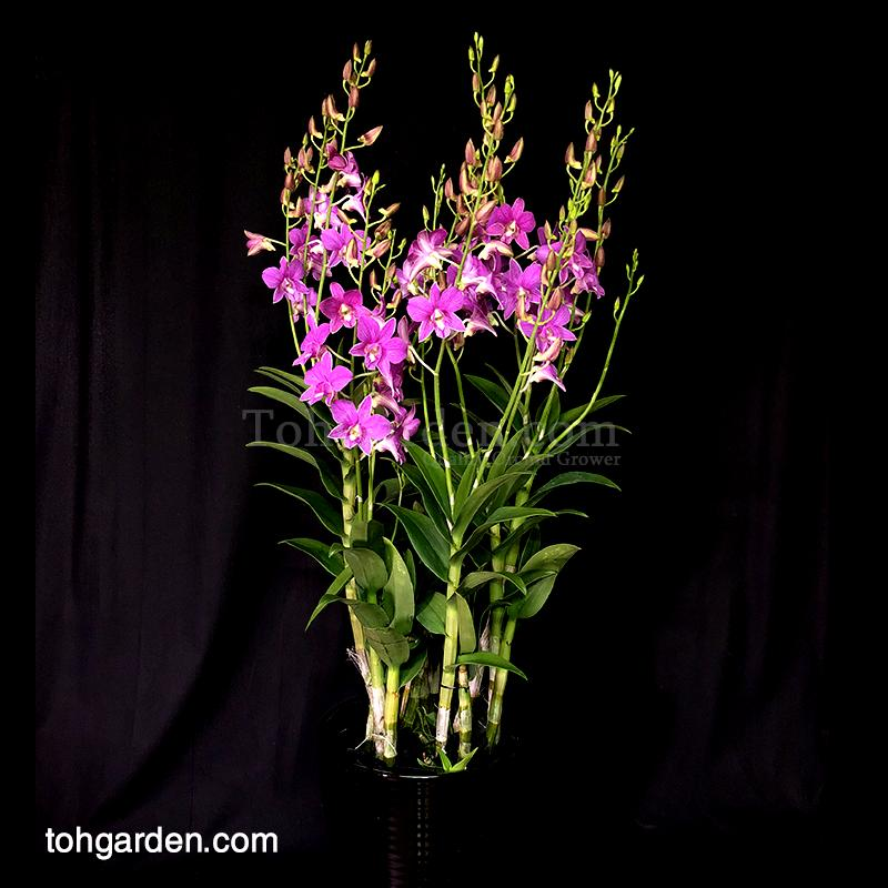 Dendrobium Mother Theresa in Ceramic Pot (5 in 1)