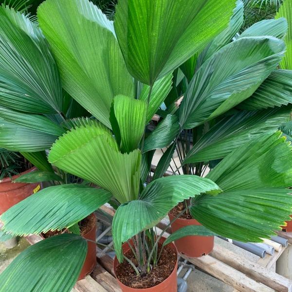 Licuala Grandis, Fan Palm, Ruffled Fan Palm, Urban Jungle, Plant deco, Tropical plants