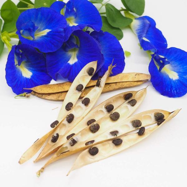 Blue Butterfly Pea 蝶豆种子 Bunga Telang (Clitoria ternatea) - 10 seeds