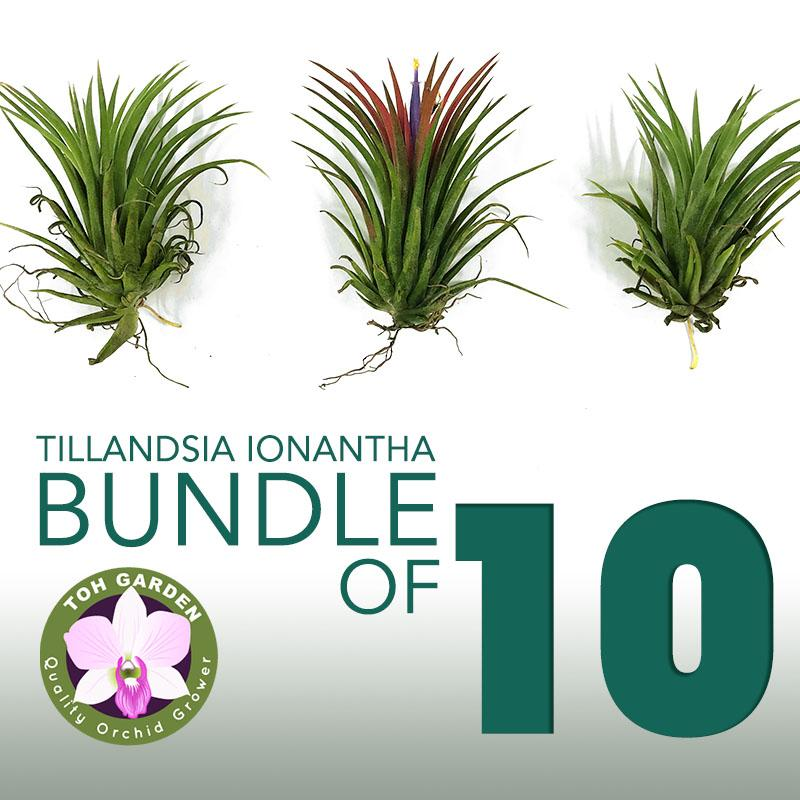 Tillandsia Ionantha Pack (Bundle of 10)