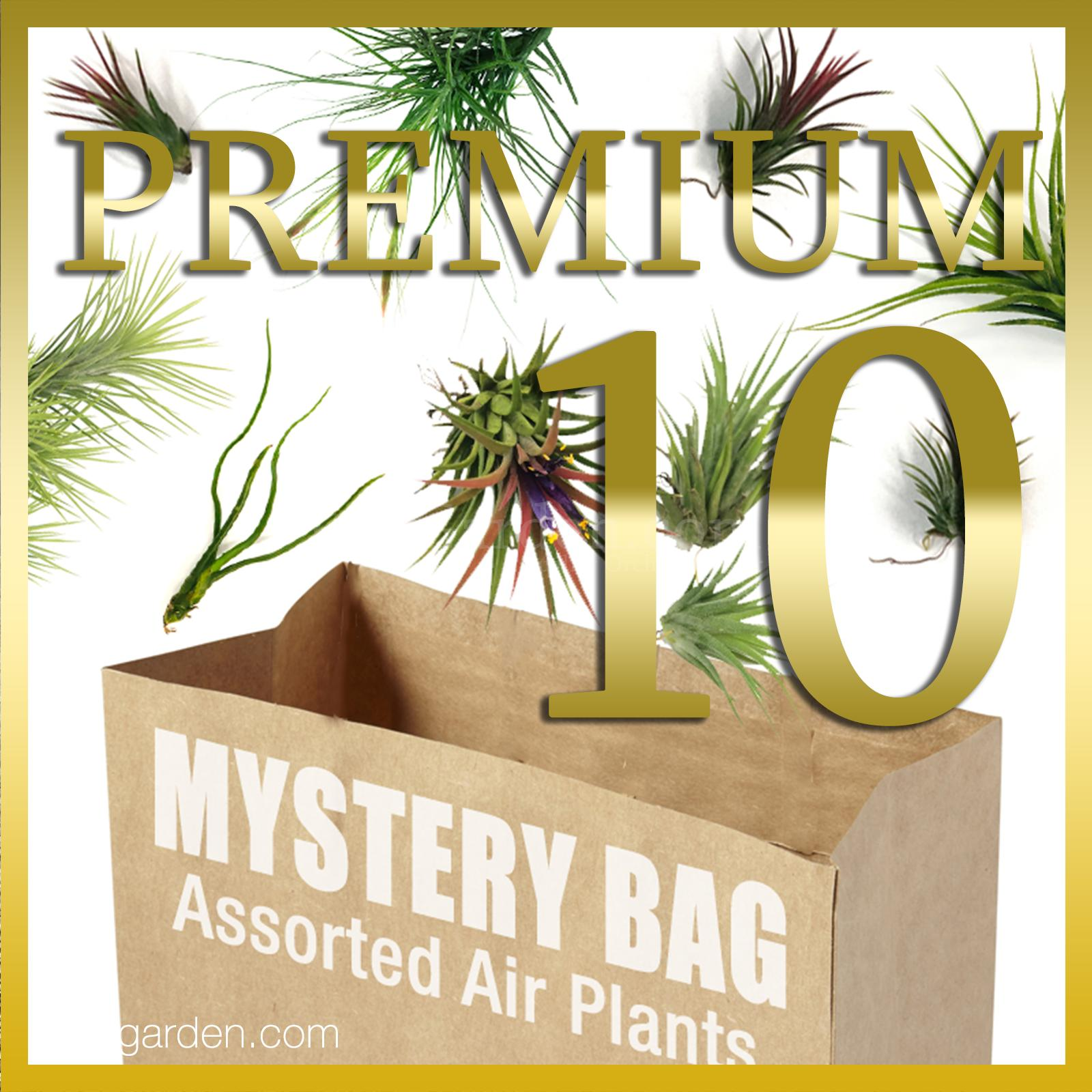 Tillandsia Premium Mystery Pack of 10 / Assorted Air Plants