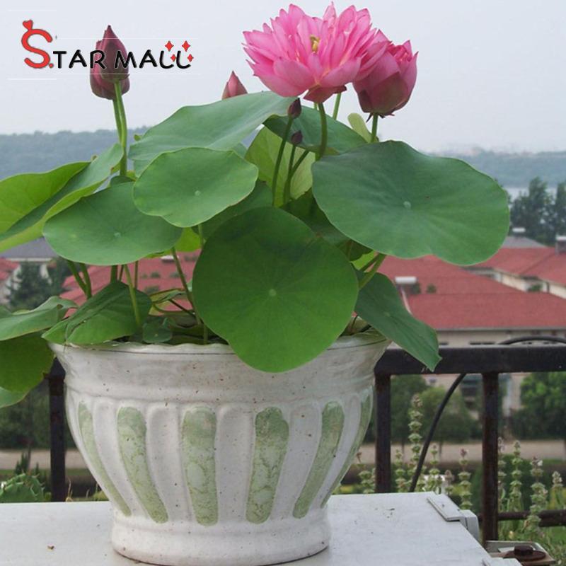 Star Mall 20Pcs Mini Bowl Lotus Plants For Gardening Decoration Summer Bonsai