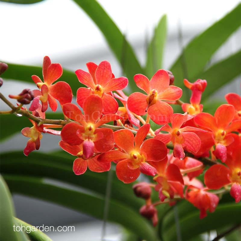 Waironara Perreiraara Tango Fire  Hanging Orchid Plant  Tropical Flower FREE DELIVERY