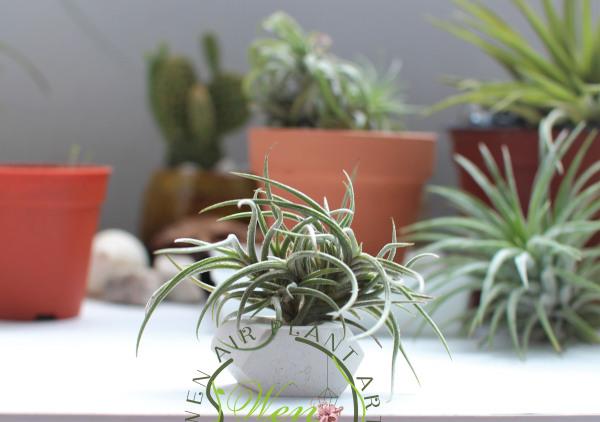 Air Plant /Tillandsia/Bandensis (fragrant flower, mini type)/扁担西施香花  fresh plant/Nice gift present for her/girlfriend