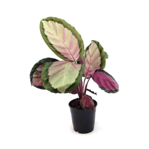 GPS X 90s Greenovation - Live Calathea - Roseopicta Rosy 巴西