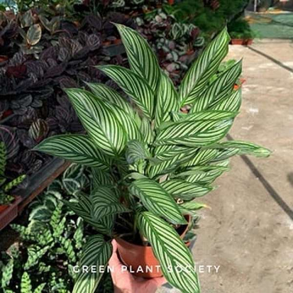 GPS X 90s Greenovation - Live Calathea - Vittata